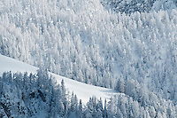 Snow covered forest in winter, Berchtesgaden national park, Bavaria, Germany