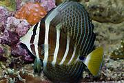 Pacific Sailfin Tang, Zebrasoma veliferum.
