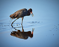 Reddish Heron. Biolab Road, Merritt Island National Wildlife Refuge. Image taken with a Nikon D4 camera and 600 mm f/4 VR lens (ISO 280, 600 mm, f/4, 1/1250 sec).