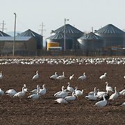 Snow Goose (Chen caerulescens) foraging in a rancher's field near Freezeout Lake in northern Montana.