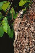 Iguanid Lizard<br />Cerrado Habitat.  Piaui State.  BRAZIL  South America