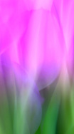 Dancing Tulips in the winds