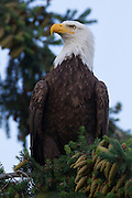An bald eagle (Haliaeetus leucocephalus) is perched in a tree in Heritage Park, Kirkland, Washington.