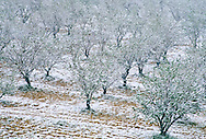Snowfall over an orchard in Syria.