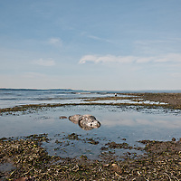 A young harbor seal (Phoca vitulina) lies dead on the beach at Golden Gardens, Washington. Photo by William Drumm.