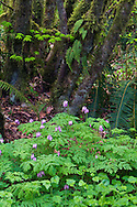 A Pacific Bleeding Heart (Dicentra formosa) blooms below a Vine Maple tree (Acer circinatum) and Licorice Ferns (Polypodium glycyrrhiza) in the forests of Campbell Valley Park in Langley, British Columbia, Canada
