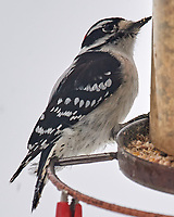 Hairy Woodpecker (Dryobates villosus). Image taken with a Nikon D5 camera and 600 mm f/4 VR lens.
