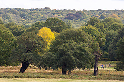 © Licensed to London News Pictures. 05/10/2020. London, UK. Walkers and cyclists enjoy the mild temperatures and autumnal colours in Richmond Park today after Storm Alex lashed the UK with 3 days of rain. Weather forecasters predict sunshine and showers with a high of 16c for the rest of the week. Photo credit: Alex Lentati/LNP