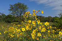 Sawtooth sunflowers bloom in a small prairie at Weinberg King State Park.