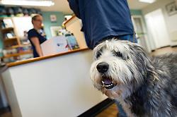 A dog in reception at Rushcliffe Veterinary Centre, West Bridgford, Nottingham, UK.<br /> Photo: Ed Maynard<br /> 07976 239803<br /> www.edmaynard.com