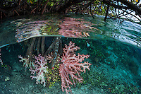 In a unusual and fascinating ecosystem, vibrant soft Corals grow abundantly on the roots of Mangrove trees, in less than 4 feet of depth.<br /> <br /> Shot in Indonesia