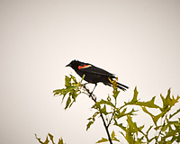 Red-winged Blackbird. Image taken with a Nikon D2xs camera and 200 mm f/2 VR lens with a 1.4x TCE-II teleconverter.