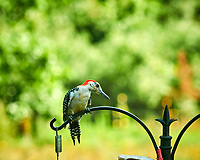 Red-bellied Woodpecker. Image taken with a Nikon D850 camera and 200 mm f/2 lens