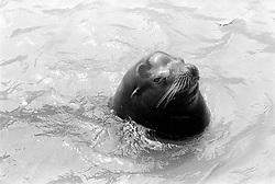 A seal takes a cooling swim at the Parc Zoologique de Paris in the Bois de Vincennes, Tuesday, June 10, 1984, in Paris. (Photo by D. Ross Cameron)