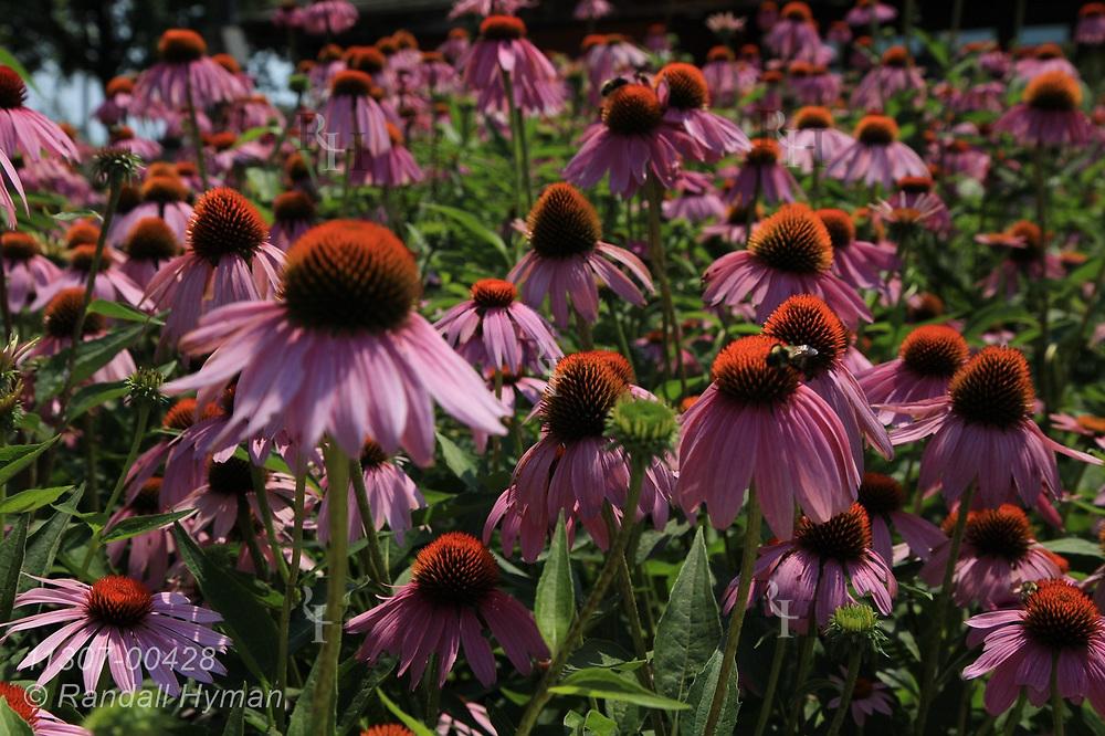 Garden of purple coneflower (Echinacea purpurea) brightens highway rest area in Illinois.