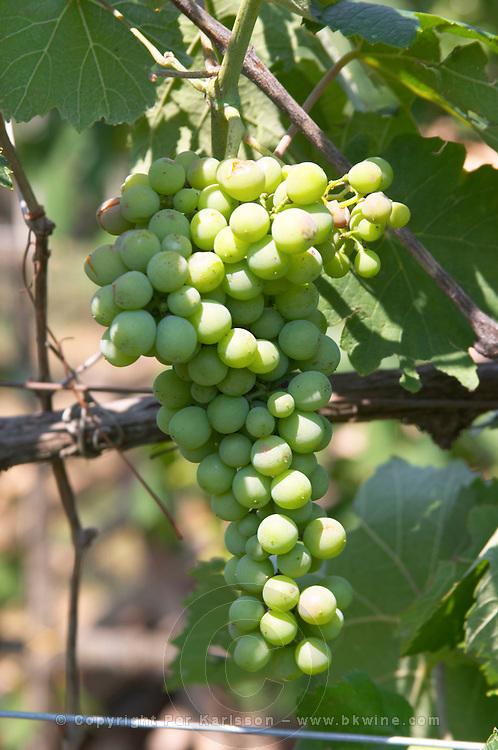 Grape bunch of the local grape variety Shesh. Cobo winery, Poshnje, Berat. Albania, Balkan, Europe.
