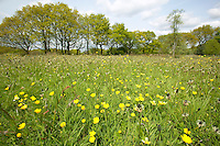 A Lancashire meadow with Buttercups and Plantains
