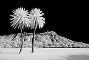 Two palm trees and Diamond Head Crater in infrared.