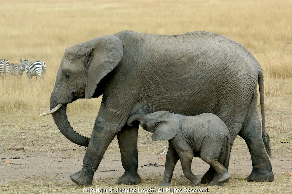 Baby elephant nursing from its mother.