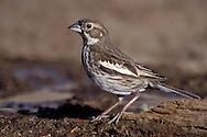 Lark Bunting - Calamospiza melanocorys - breeding female