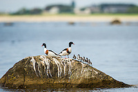 Norway, Håtangen. Common shelduck with ducklings.