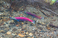 Sockeye Salmon spawning near the Mendenhall Glacier in Juneau Alaska