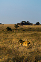 A prowling Lioness in the Serengeti National Park, Tanzania