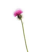 IFTE-NB-007349; Niall Benvie; Thistle sp.; Austria; Europe; Tirol; Fliesser Sonnenhänge; vegetation flowering plant composite; vertical; high key; purple white; wild; one; woodland edge meadow grassland; 2008; July; summer; strobe backlight; Wild Wonders of Europe Naturpark Kaunergrat