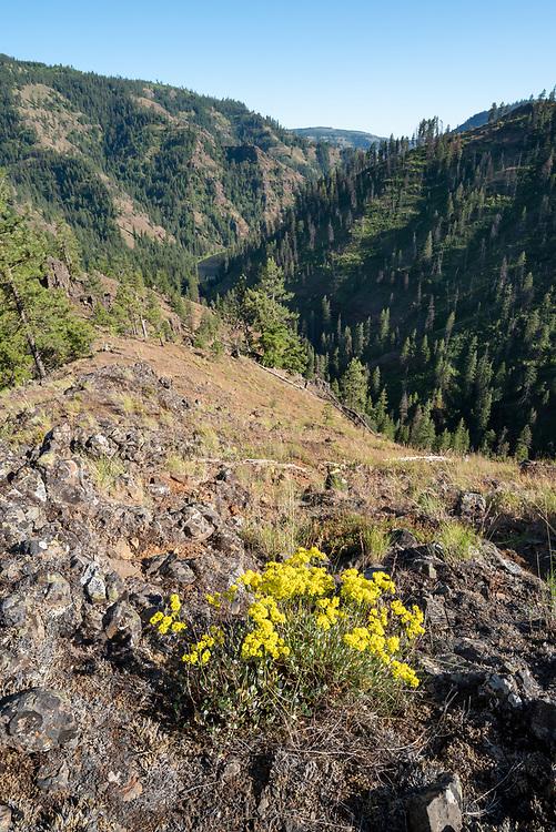 Sulfur flower in bloom above the Grande Ronde River in Northeast Oregon.
