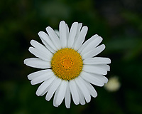 Daisy. Image taken with a Leica TL2 camera and 60 mm f/2.8 macro lens