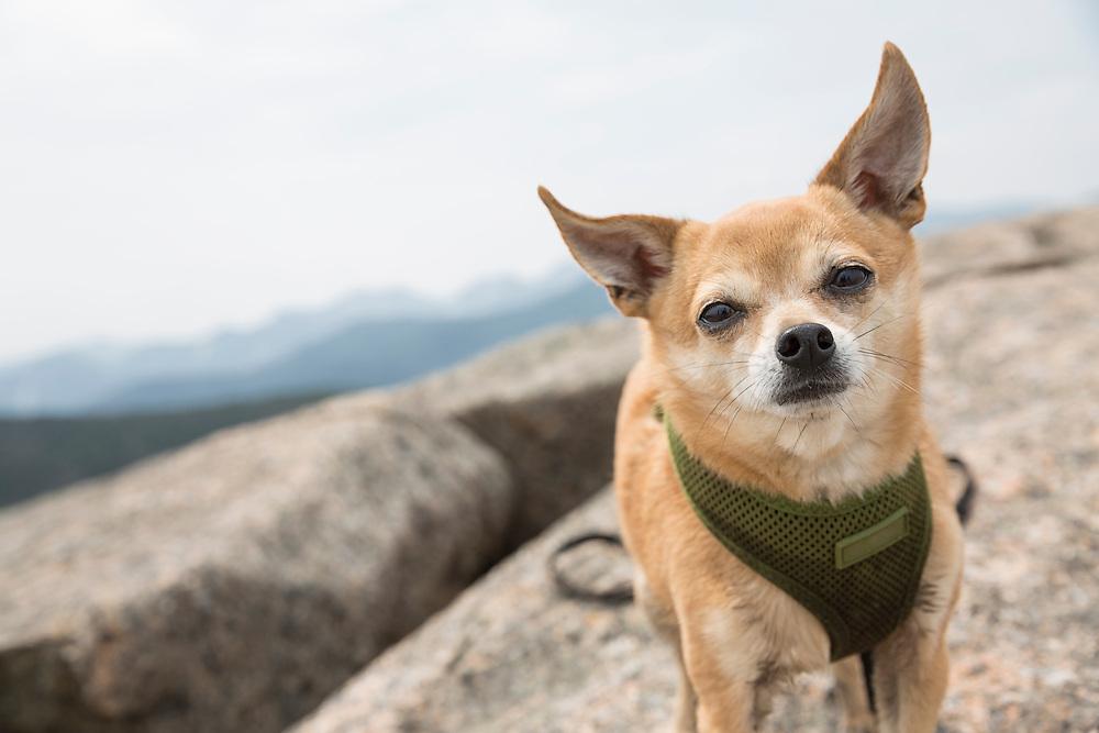 Chihauhau standing on a mountaintop