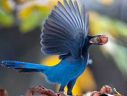 November 1, 2018 - Eugene, OREGON, U.S - A Steller's jay makes off with a walnut from the roof of a shed under a tree on a farm near Roseburg in rural western Oregon. The birds were talking the nuts into nearby trees and using their strong beaks to break open and eat the walnuts from inside the shells. (Credit Image: © Robin Loznak/ZUMA Wire)