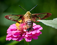 Hummingbird Clearwing (Hemaris thysbe) moth feeding on a Zinnia flower. Image taken with a Nikon 1 V3 camera and 70-300 mm  VR lens