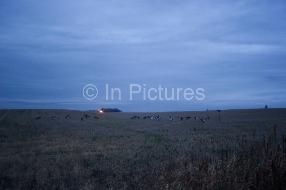 Duck hunting at dawn on a hilltop south-east of Minot. The duck hunters travel in the dark to the place they suspect will be the morning feeding roost for ducks. As the sun comes up they have prepared these decoys in the field and hide behind some undergrowth in their camouflage clothing. As the sun rises soem ducks take to the air for their morning feed. As they draw near the hunters make female and feeding duck calls to attract the flying birds towards the decoys and to within shooting range. The moment they are close enough the hunters quickly take aim anf fire their shotguns; some of the ducks fall to the ground. A great deal of work and effort goes into this type of shooting, with the result being a few fine Mallards for the pot.