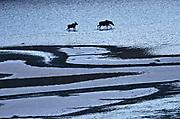 Moose (Alces alces)  walking on the sand ridges of Medicine Lake<br />Jasper National Park<br />Alberta<br />Canada