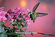 01162-06206 Ruby-throated Hummingbird (Archilochus colubris) female at Garden Phlox (Phlox paniculata) Shelby Co. IL
