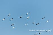 00671-01007 American White Pelicans (Pelecanus erythrorhynchos) in flight Riverlands Migratory Bird Sanctuary St. Charles County, MO