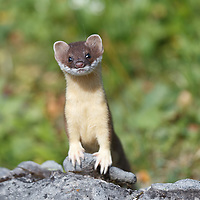 Animals - Weasels