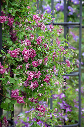 Clematis viticella 'Purpurea Plena Elegans' AGM