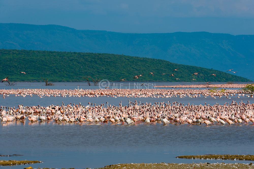 Lesser flamingos at the shores of Lake Bogoria, Kenya.