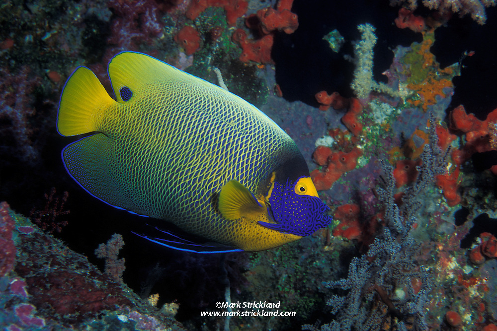 The brilliantly colored Yellow-Mask Angelfish, Pomacanthus xanthometopon, is often shy and difficult to approach.  Similan Islands Marine National Park, Andaman Sea, Thailand