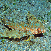 Flying Gurnard inhabit areas of sand, coral rubble and seagrasses, often near shallow patch and fringe reefs in Tropical West Atlantic; picture taken Barbados.