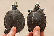 Comparison between Giant River Turtle (Podocnemis expansa) and Yellow-spotted River Turtle (Podocnemis unifilis)  CAPTIVE -REARING PROGRAM FOR REINTRODUCTION TO THE WILD<br /> CITES II VULNERABLE.<br /> Orinoco River, 110 Km north of Puerto Ayacucho. Apure Province, VENEZUELA. South America. <br /> Project from Base Camp of the Protected area of the Giant River Turtle (& Podocnemis unifilis). (Refugio de Fauna Sylvestre, Zona de Protecion de Tortuga Arrau, RFSZPTA)<br /> Ministery of Environment Camp which works in conjuction with the National Guard (Guardia Nacional) who help enforce wildlife laws and offer security to camp staff. From here the ministery co-ordinate with other local communities along the river to hand-rear turtles for the first year of their life and then release them. The ministery pays a salary to one person in each community that participates in the project as well as providing all food etc. The turtles are protected by law and there is also a ban on the use of fishing nets in the general area. During the egg laying season staff sleep on the nesting beaches to monitor the nests.  All nests layed on low lying ground are dug up and relocated to an area not likely to flood. They are then surrounded by a net to catch all hatchlings who will then spend the first year of their life in captivity to increase their chances of survival. Biometric data is taken from any female they find that has layed eggs and is returning to the river.