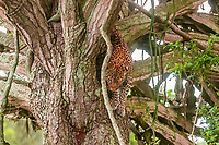 Leopard climbing down from a tree,  Queen Elizabeth National Park, Uganda.