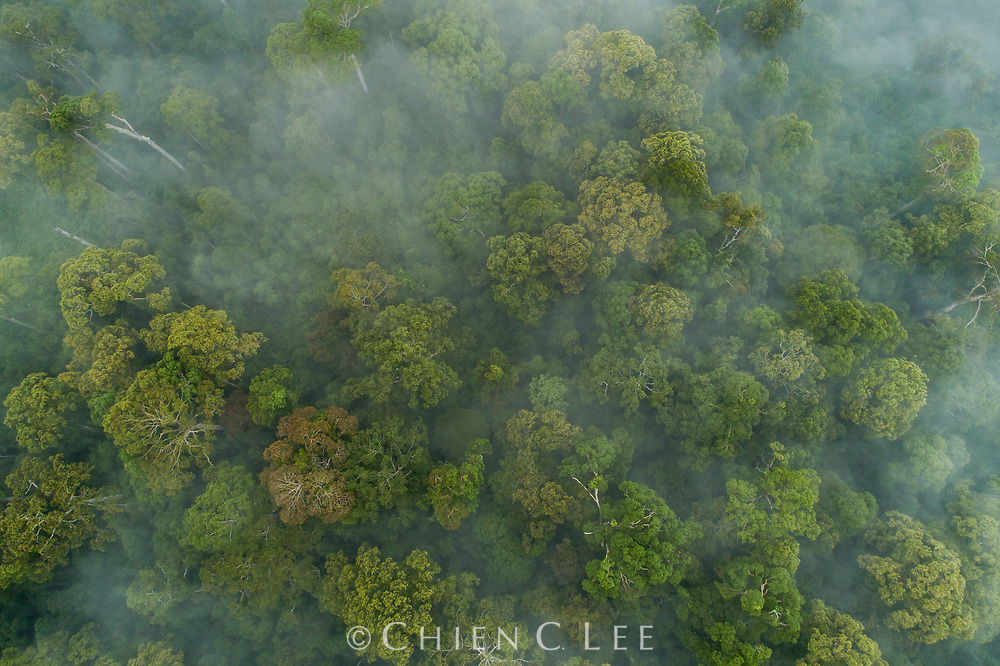 Aerial view of primary forest during a mass flowering event. Danum Valley, Sabah, Malaysia (Borneo).