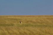 Lioness hunting, using cover of long grass, Serengeti National Park, Tanzania.