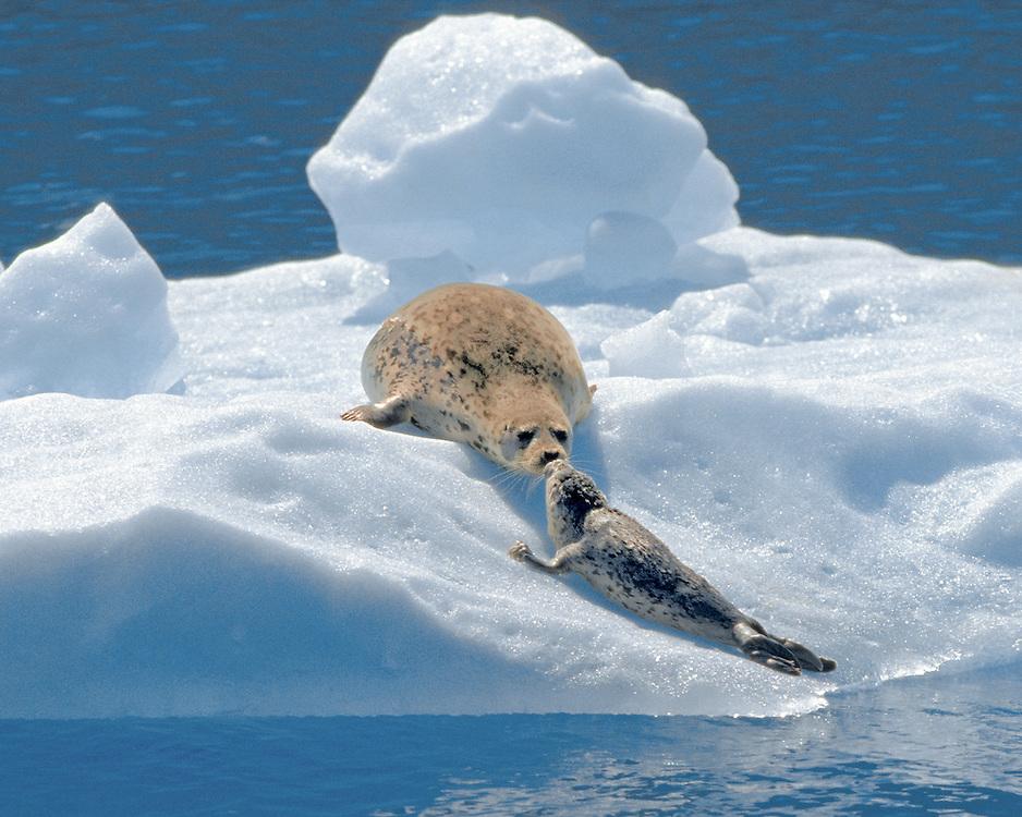 Alaska. SE. Two harbor seals greet on an iceberg.