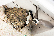 Adult House Martin birds bring food to fledglings in birds nest at Mancy, Champagne-Ardenne, France