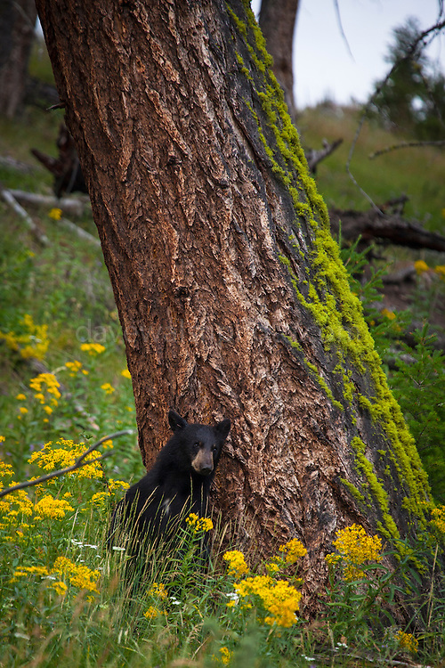 Black bear, scratching its back on a tree near Tower Falls in Yellowstone National Park, Wyoming, USA.