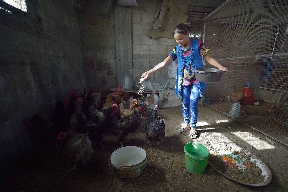 Twelve-year old Iman feeds chickens in her family's home in Beit Hanoun, Gaza. The house was damaged by Israeli tank fire during the war in 2014, an attack that killed six people in the home next door. The family took refuge in a United Nations school for the remainder of the war, but Iman and her mother walked the five kilometers home whenever there was a lull in the fighting in order to feed their chickens. Only six chickens survived the conflict, but the family has now built that number back to 29 chickens. International Orthodox Christian Charities, a member of the ACT Alliance, has provided the family with assistance, including supplies for the chickens.<br /> <br /> Parentla consent obtained.